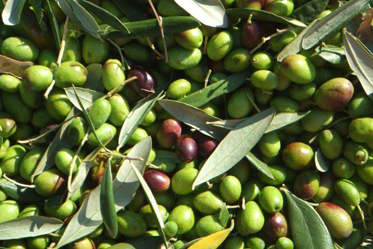Caratteristiche dell'oliva coratina e del suo olio